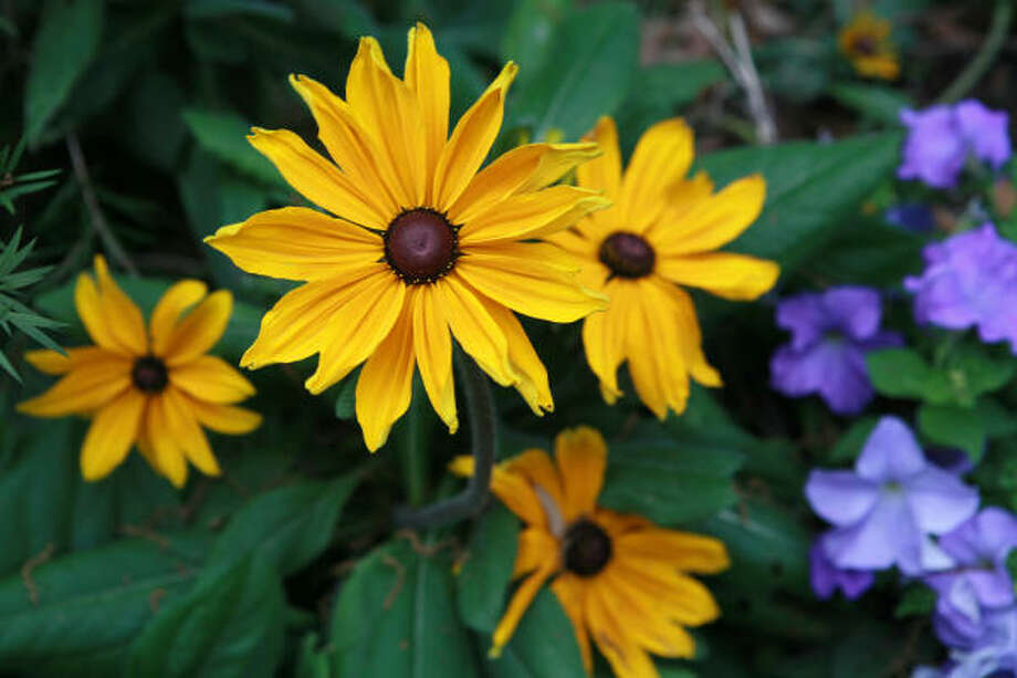 'Indian Summer' rudbeckia More: The Lazy Gardener | Houston Plant Database | HoustonGrows.com Photo: Jill Hunter, For The Chronicle