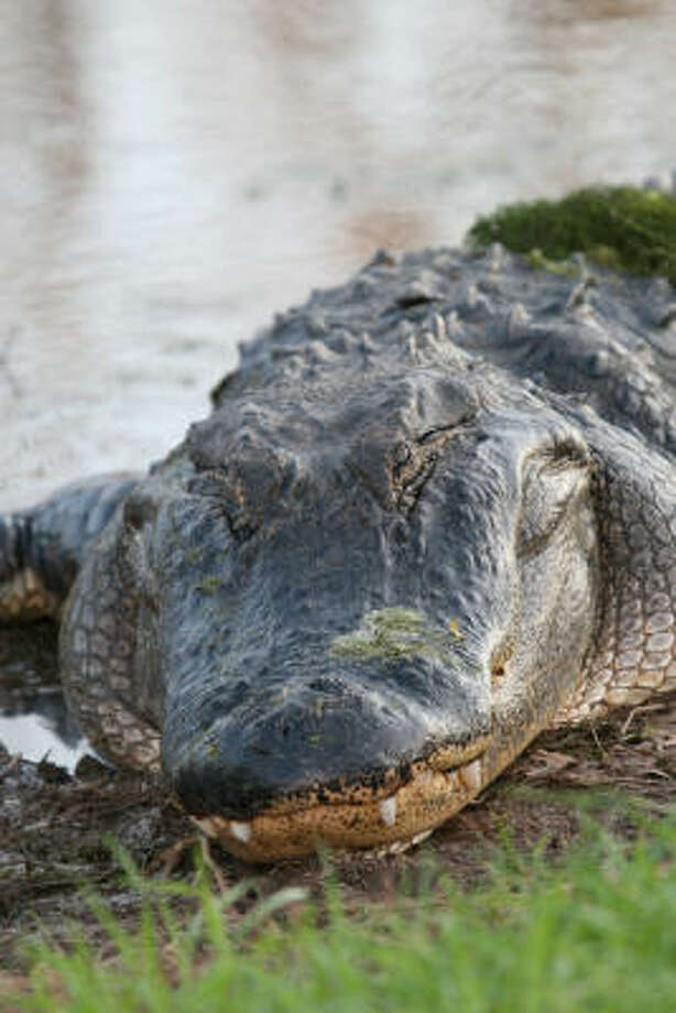 The reptiles are one of the park's most popular attractions. Photo: Chronicle File