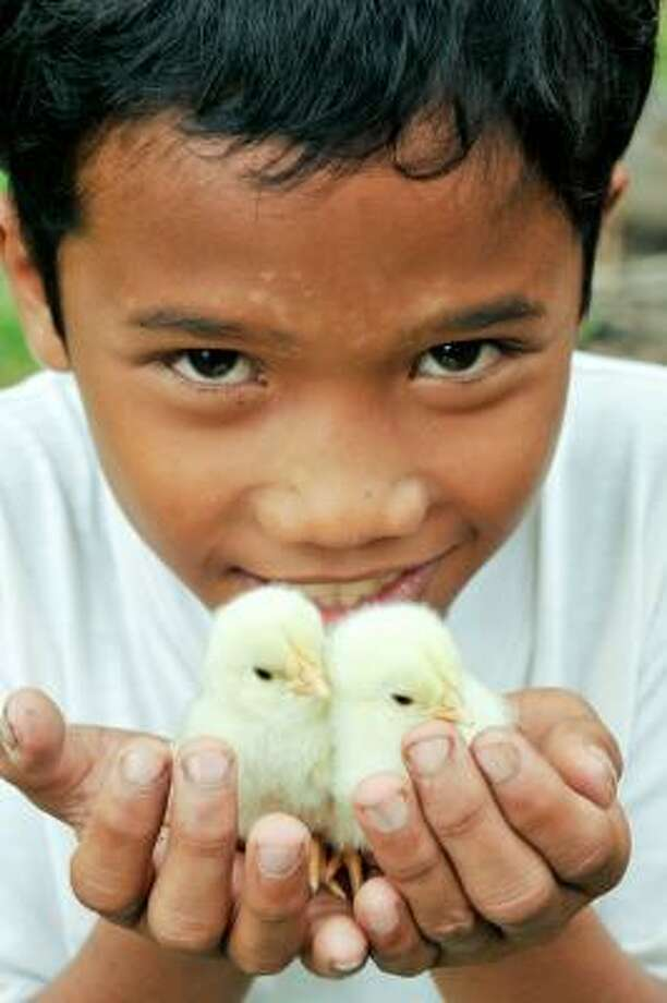 "Many charities have holiday catalogs of things you can buy in honor of someone special. Shown here are chickens offered two for $25 by World Vision, which says ""the chickens provide a lasting source of nutrition and income for one or more families.  Fresh eggs raise the levels of protein and other nutrients in a family's diet, and the sale of extra eggs provides money for other household needs."" Buy them here. Photo: Provided, World Vision"