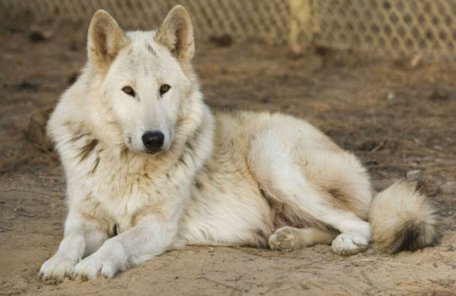This is Luke, one of the wolves cared for by Jean Le Fevre at the St. Francis Sanctuary for Wolves. Photo: Brett Coomer, Chronicle