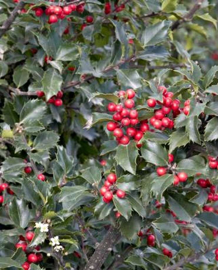 Holly (Ilex spp.) More: Berries in Houston | History of holly | Pyracantha | Decorate with berries Photo: AP / Monrovia Nursery Co.