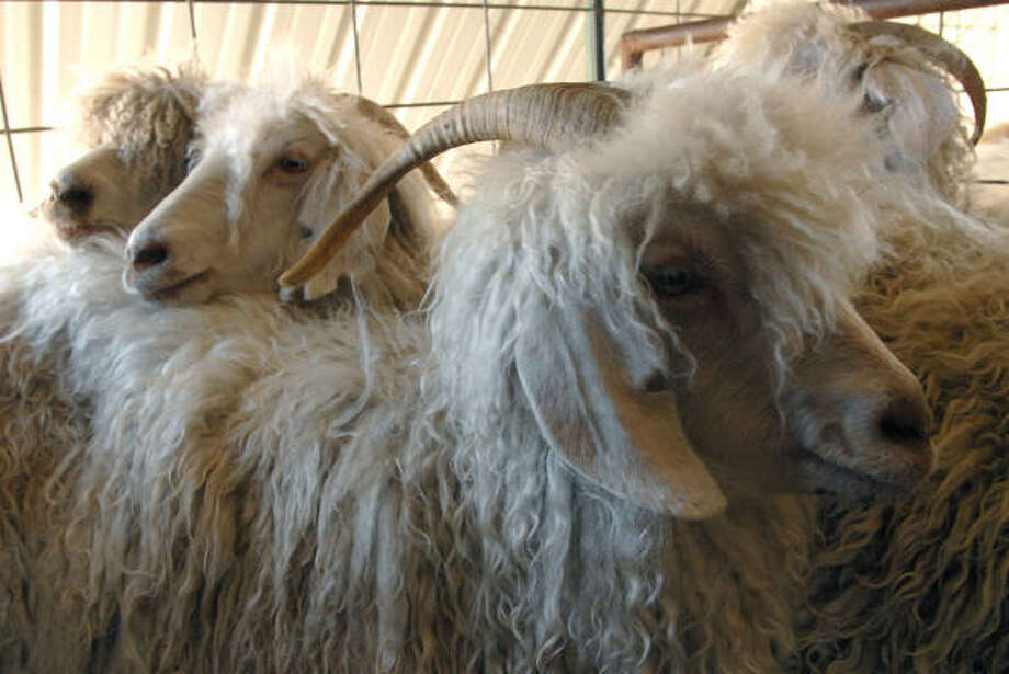 A group of Angora goats waits to be sheared at Hayden and Doris Haby's ranch outside Uvalde. Photo: Wendi Poole, For The Chronicle