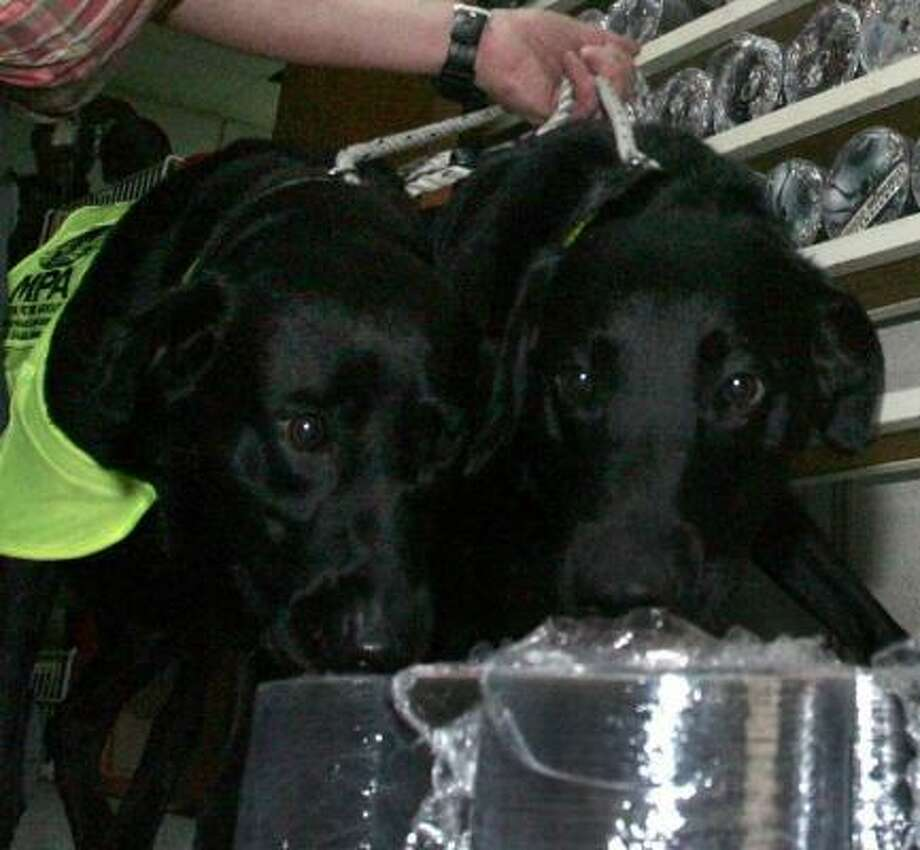 Lucky and Flo put their noses to pirated CDs. Photo: ASSOCIATED PRESS
