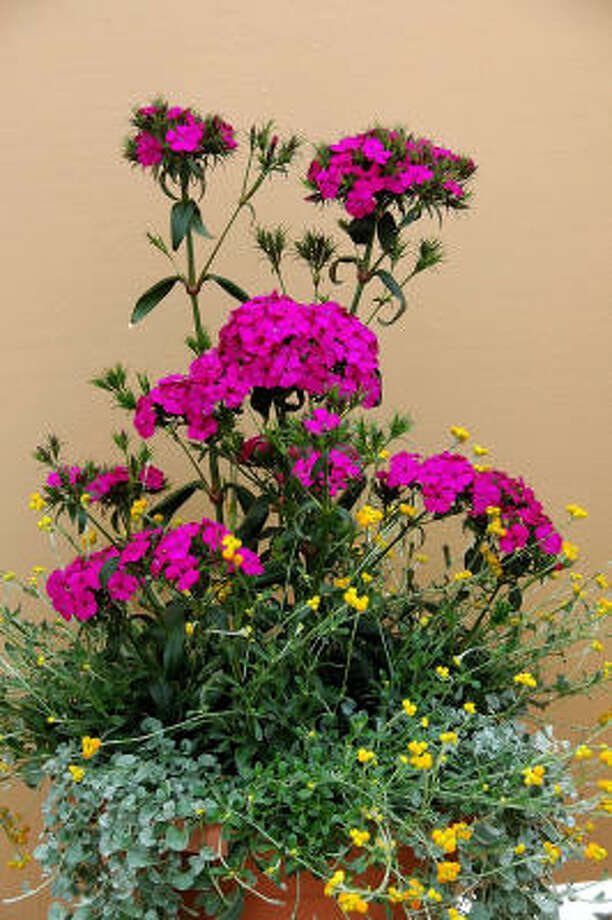 The Amazon dianthus is the thriller plant in this early-summer container. The filler plant is Flambe Orange chrysocephalum, and Silver Falls dichondra is the spiller plant that cascades over the rim. Photo: MCT