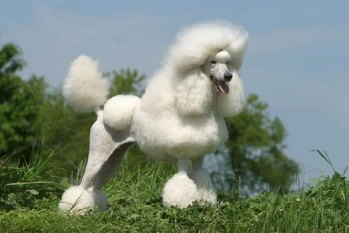 Good choice: Poodles