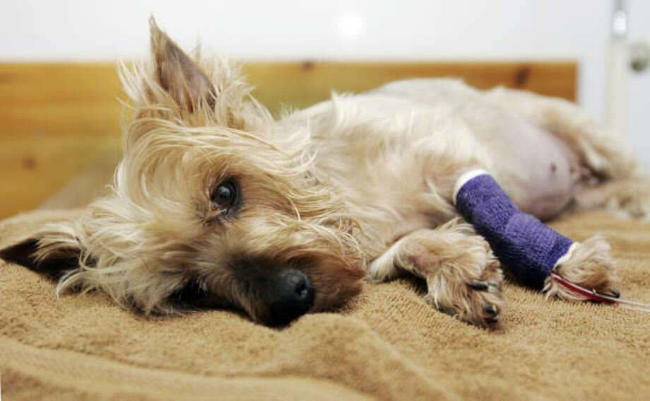 Pebbles, a 7-year-old Yorkshire terrier who is battling kidney failure after eating dog food that was later recalled, is cared for at Collett Veterinary Clinic in the Sylmar area of Los Angeles. Photo: Reed Saxon, AP