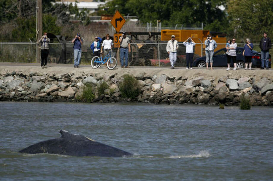 Sightseers line River Road near the Rio Vista Bridge to watch as a whale surfaces Monday in Rio Vista, Calif. The two whales are making their way back to the Pacific Ocean, with the help of the U.S. Coast Guard. Photo: Kat Wade, AP