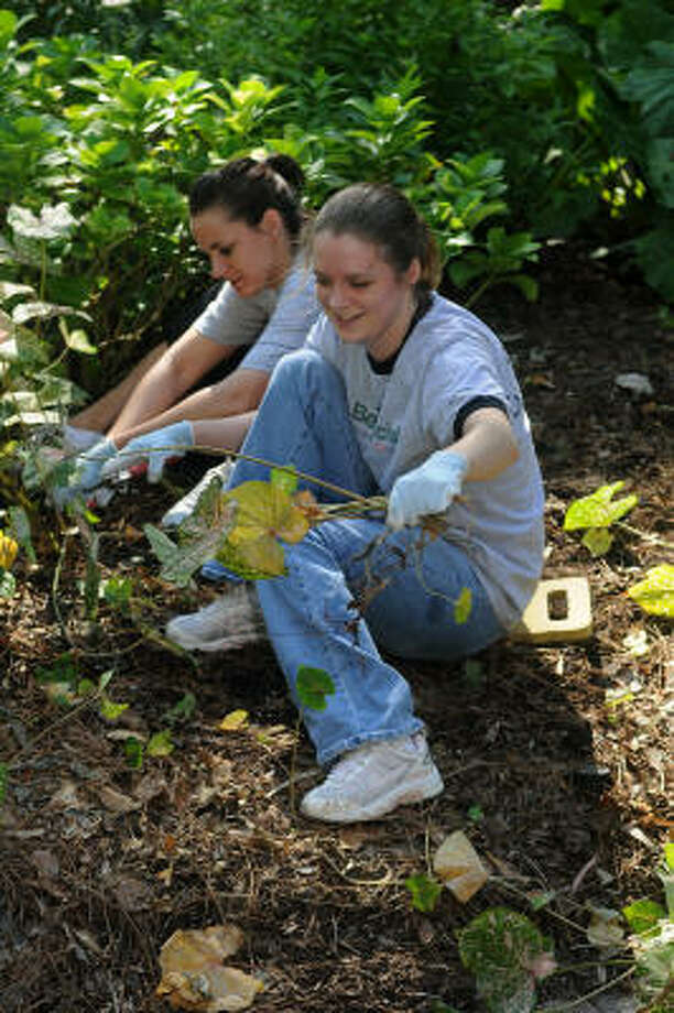 Amanda Gazzaway, right, and Katy Frerichs, both volunteers from Beneficial Finance, cut down caladiums in the memorial fern garden at Mercer Arboretum & Botanic Gardens. Photo: Jerry Baker, For The Chronicle