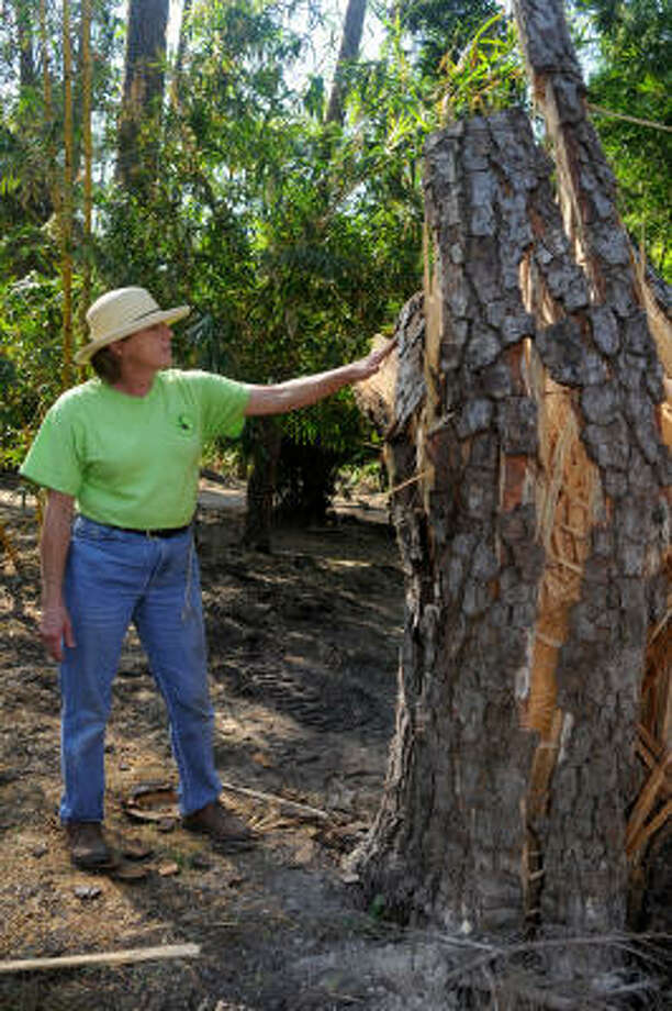 Linda Gay, Director of the Mercer Arboretum and  Botanic Gardens in Spring, checks out a 50-year-old Loblolly Pine tree on the garden's forest floor that was nearly destroyed by Hurricane Ike. Photo: Jerry Baker, For The Chronicle