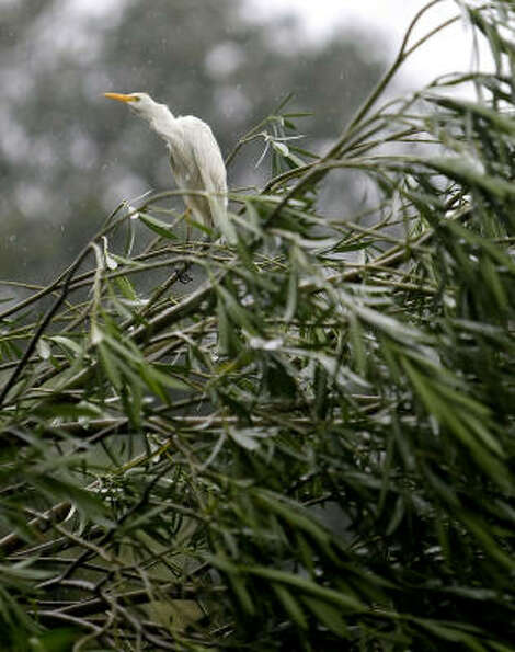 A  bird sits in a tree that was damaged by strong wind gusts from Hurricane Ike in the Heights area.