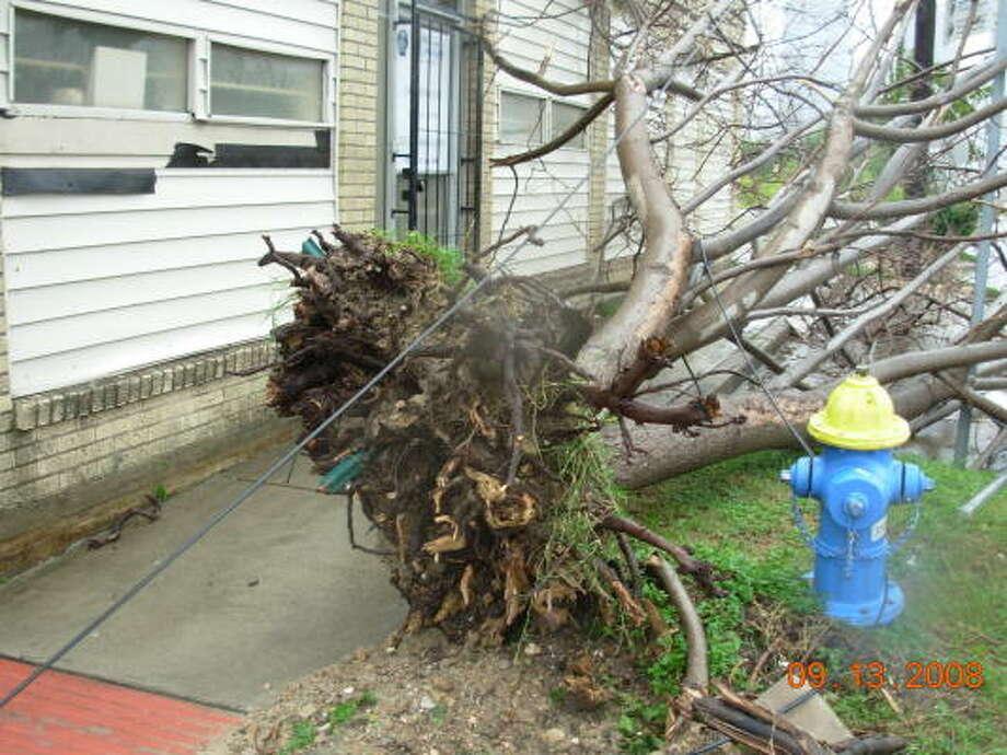 Winds from Hurricane Ike uprooted this tree along Houston Avenue near Washington Avenue. Photo: Jim Newkirk, Chronicle