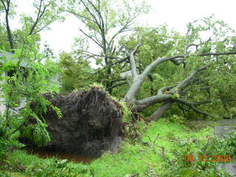 Winds uprooted this tree on East 31st St. near Arlington Street in Independence Heights. Photo: Jim Newkirk, Chronicle