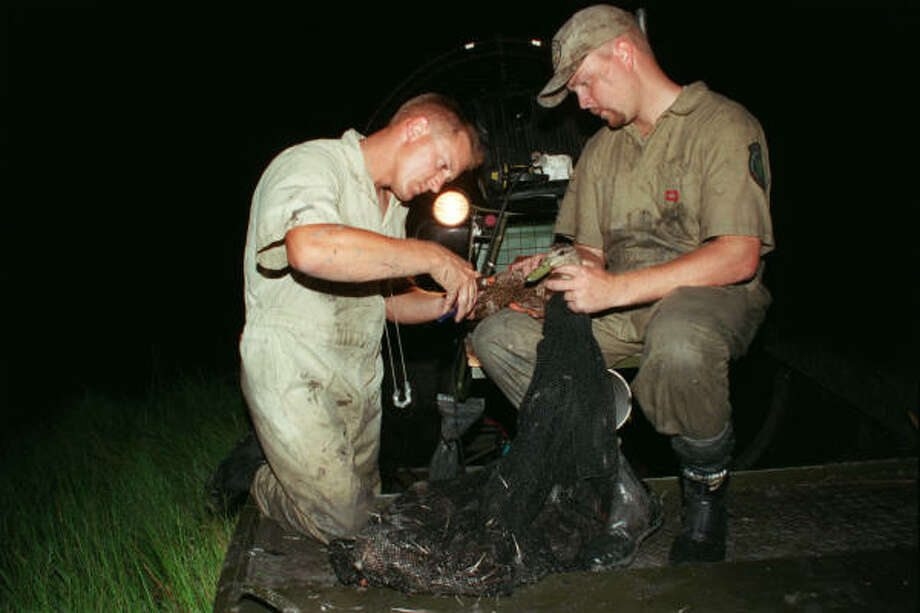 Language in a bill expected to pass the Texas Legislature would change the name of Peach Point WMA near Jones Creek to Justin Hurst WMA. Hurst, left, banding mottled ducks with fellow TPWD biologist Kevin Kriegel as part of a research effort, died March 17 in a shootout with a suspected poacher. Hurst was a wildlife biologist on Peach Point WMA when this photo was taken in 2000. Photo: Shannon Tompkins, HOUSTON CHRONICLE