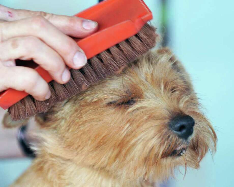 "Norfolk Terrier ""Angel"" gputs up with alittle brushing during The Adirondack Spa Circuit Dog Show Saratoga County Fairgrounds in Ballston Spa Wednesday Aug. 10, 2011.   (John Carl D'Annibale / Times Union) Photo: John Carl D'Annibale / 00014106A"