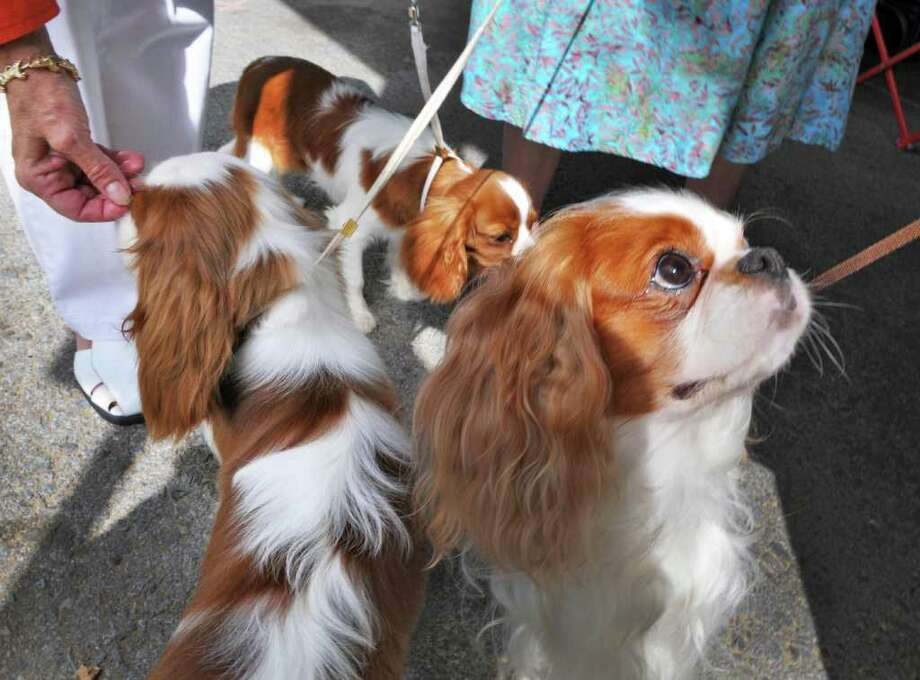 Cavalier King Charles Spaniels await their turn in the ring during the Adirondack Spa Circuit Dog Show at the Saratoga County Fairgrounds in Ballston Spa on Wednesday, Aug. 10, 2011.   (John Carl D'Annibale / Times Union) Photo: John Carl D'Annibale / 00014106A