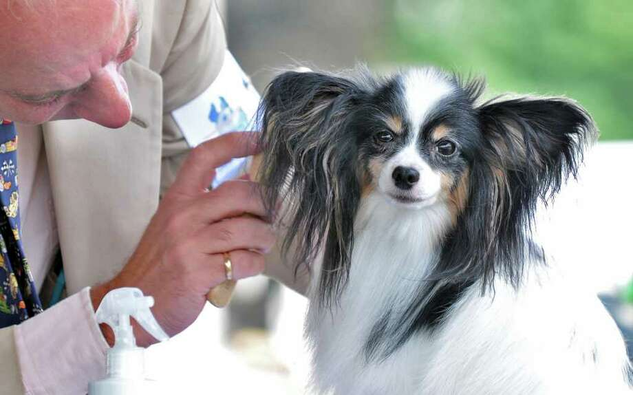 "Papillon ""Lindley"" gets some last-minute attention from Anthony Bernard of Layfayette, N.J.,  during the Adirondack Spa Circuit Dog Show at the Saratoga County Fairgrounds in Ballston Spa on Wednesday, Aug. 10, 2011.   (John Carl D'Annibale / Times Union) Photo: John Carl D'Annibale / 00014106A"