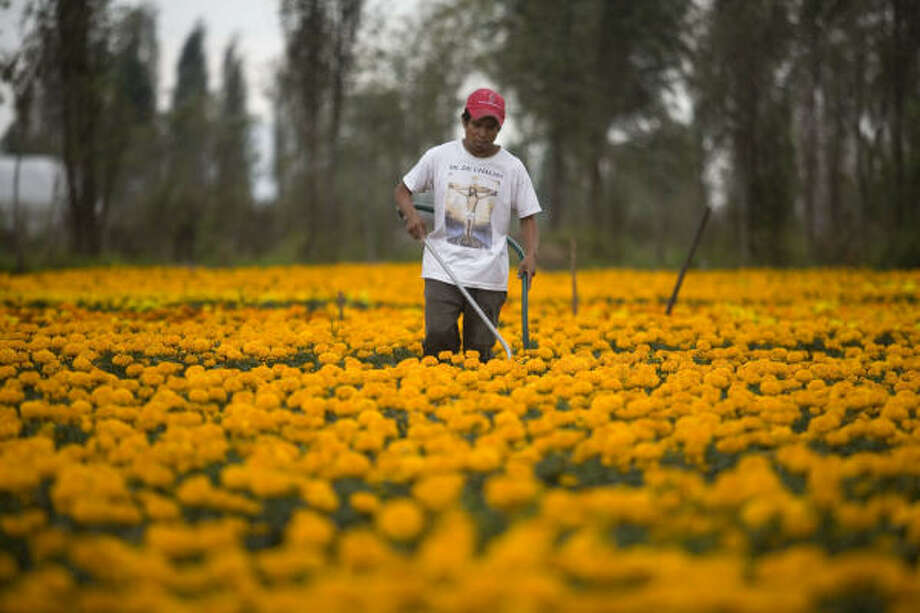 Florentino Munoz waters Cempasuchil flowers grown on a floating island in Xochimilco Lake. Xochimilco is the original natural habitat of the endangered Axolotl salamander, and Mexican and international researchers are racing to save it. Photo: Dario Lopez-Mills, AP