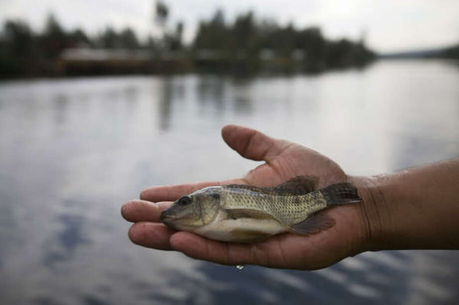 A man holds an African tilapia fish in the waters of Xochimilco Lake. Invasive fish species are endangering the native Axolotl salamander. Photo: Dario Lopez-Mills, AP