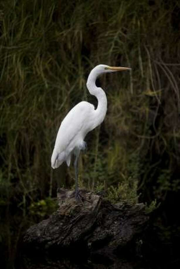 "An Egret perches on the banks of a canal in Xochimilco Lake in Mexico City, where scientists are pushing for the creation of a series of ""sanctuaries"" in the canals where the Axolotl salamanders can thrive. Photo: Dario Lopez-Mills, AP"