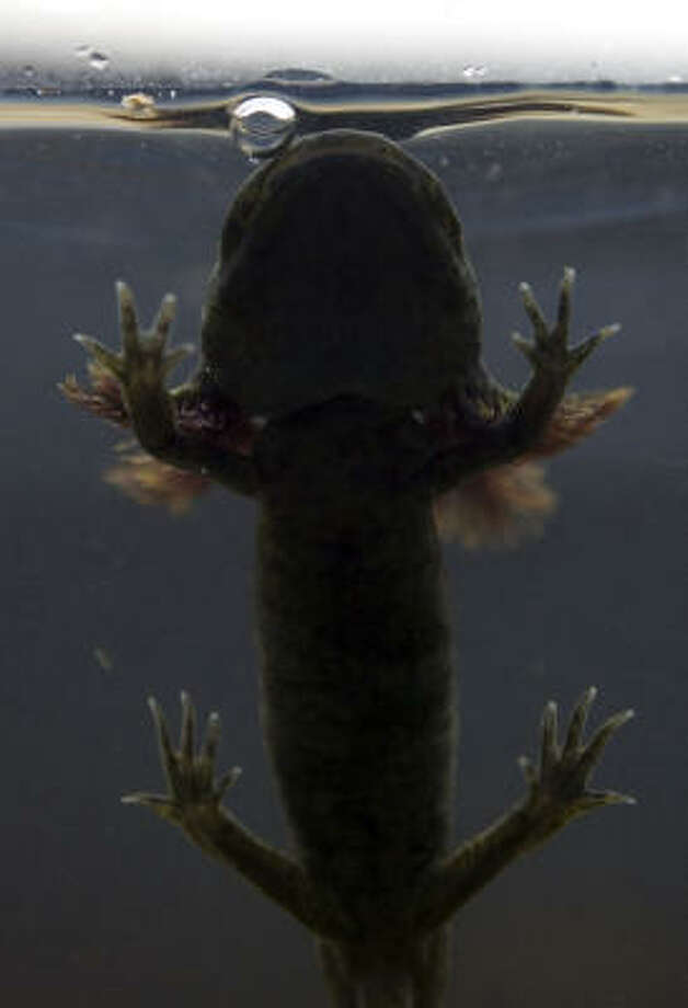 An Axolotl salamander swims to the surface for air in a tank at the Chapultepec Zoo in Mexico City. Photo: Dario Lopez, AP