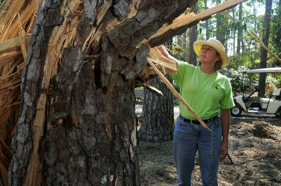 Linda Gay, Director of the Mercer Arboretum & Botanic Gardens in Spring, checks out a fifty yr. old Loblolly Pine tree on the garden's forest floor that was nearly destroyed by Hurricane Ike. Gay said that she plans to preserve what is left of the tree and turn it into a sculpture. Photo: Jerry Baker, For The Chronicle
