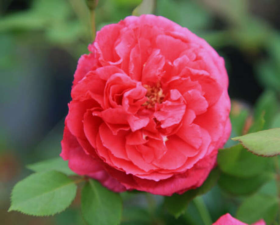 Through Nov. 30, Chronicle readers can submit entries to win the naming rights to this rose created by Mike Shoup at the Antique Rose Emporium near Brenham. Photo: Mike Shoup, Antique Rose Emporium