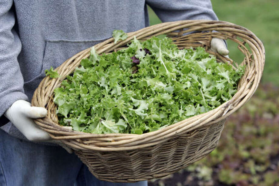 Worker John O'Dell has just picked a basket of tango lettuce in Camille Waters' salad garden beside Patrenella's Cafe in the Heights. Photo: Craig Hartley, For The Chronicle