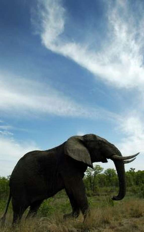 Take an African safari and see elephants like this one walking through South Africa's Kruger National Park. Photo: JON HRUSA, ASSOCIATED PRESS