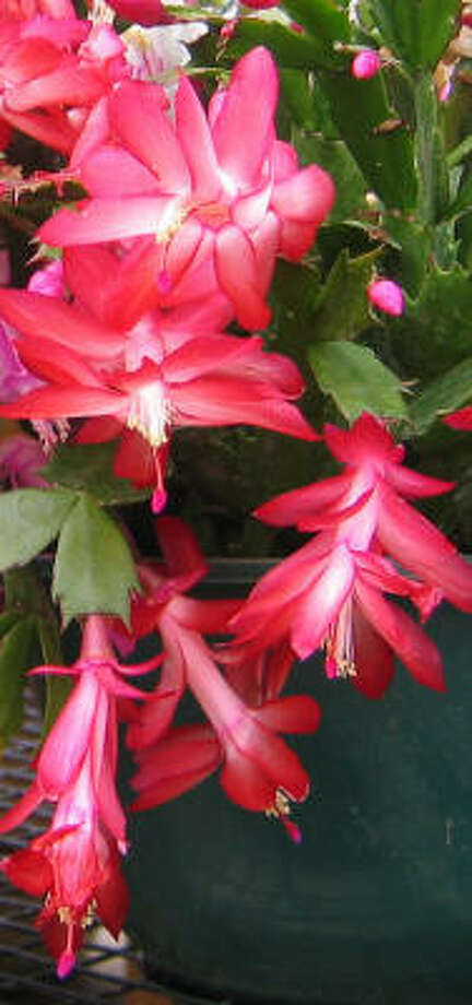 Christmas cactus Photo: BRENDA BEUST SMITH, For The Chronicle