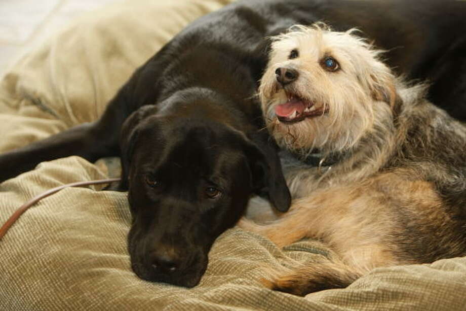 Cooper and his black Lab buddy Sammy are inseparable. They eat, sleep and walk together. Photo: Nick De La Torre, Chronicle