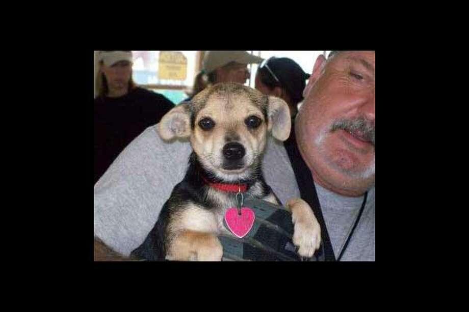 Chihuahua mixGo to Disaster Response Pet Portal Photo: Houston SPCA
