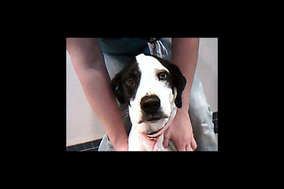 Pointer mix Go to Disaster Response Pet Portal Photo: Houston SPCA