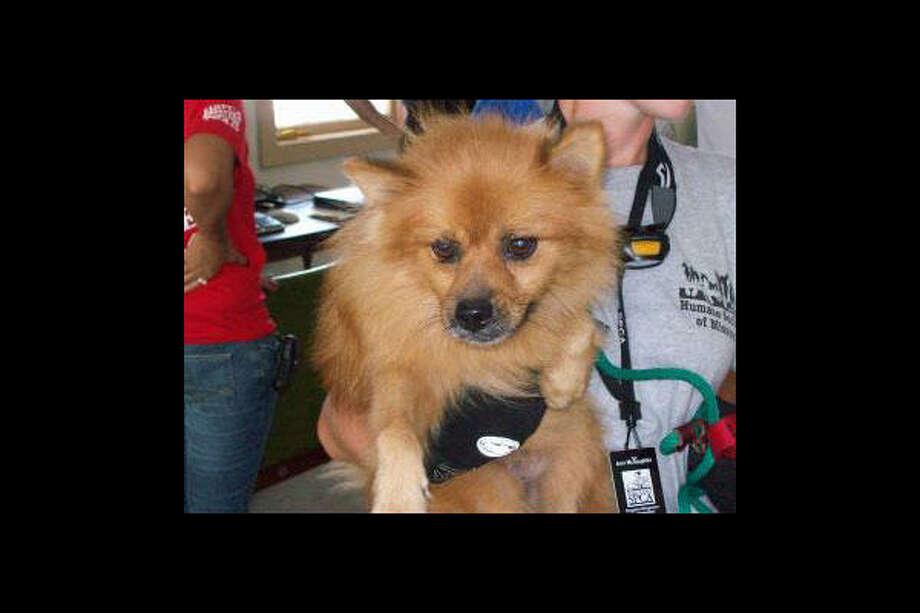 Pom mix  Go to Disaster Response Pet Portal Photo: Houston SPCA