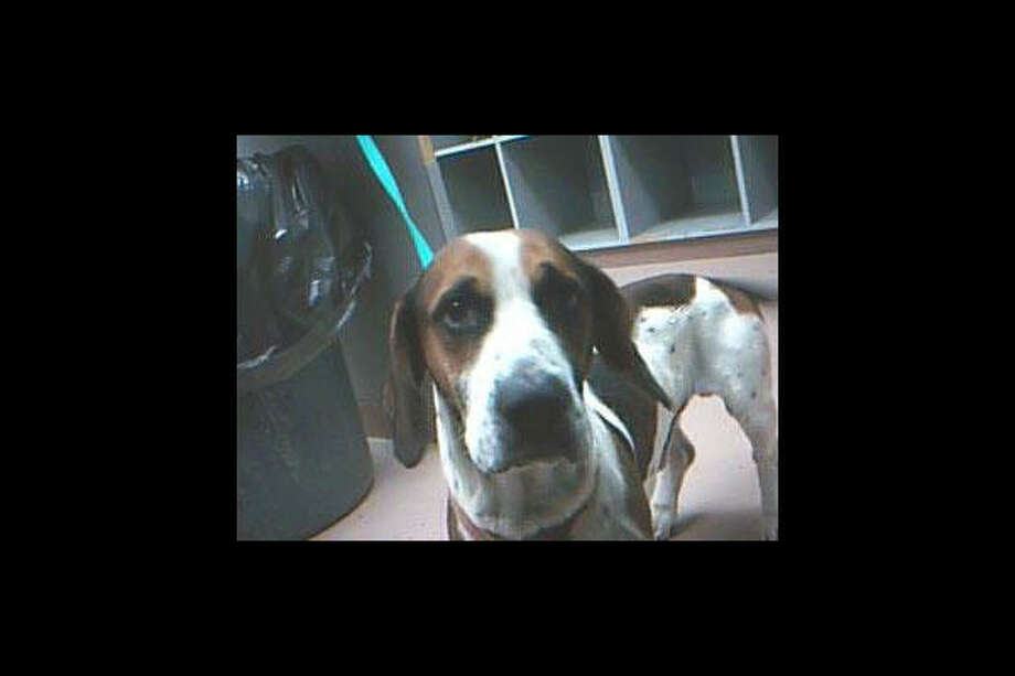 Basset hound mix Go to Disaster Response Pet Portal Photo: Houston SPCA