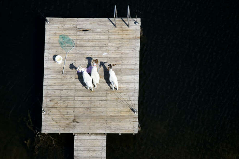 Three goats stand on a floating dock in the pond behind a home in Pearland. Photo: Smiley N. Pool, Chronicle