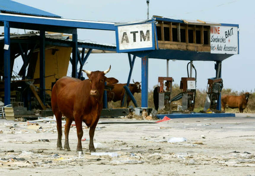 Cattle wander around the ruins of a Bolivar store and gas station.