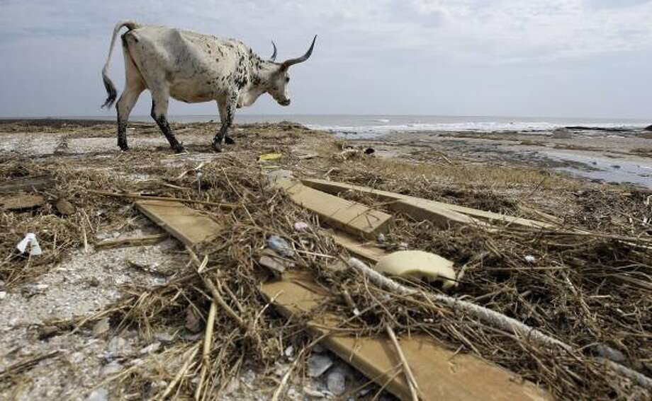 A Texas Longhorn roams through debris left by Hurricane Ike in Crystal Beach, Texas. Photo: Eric Gay, AP