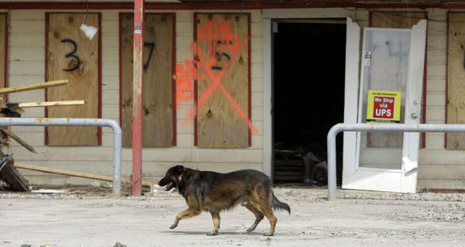 A dog runs loose after the hurricane at Crystal Beach. Photo: Eric Gay, AP