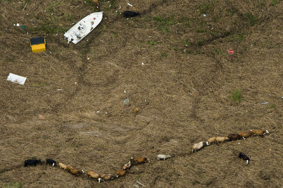 Cattle are seen amidst debris covering Texas Highway 73 near Winnie after Hurricane Ike, Sunday, Sept. 14, 2008. Photo: Smiley N. Pool, Chronicle