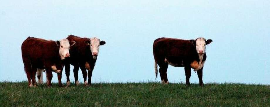 Quarantined cattle graze in Alberta in 2003, the year a cow was discovered to be infected with bovine spongiform encephalopathy, known as mad cow disease. A U.S. cattlemen's group has sued to stop imports of Canadian cattle over 30 months of age. Photo: ED KAISER, EDMONTON JOURNAL FILE