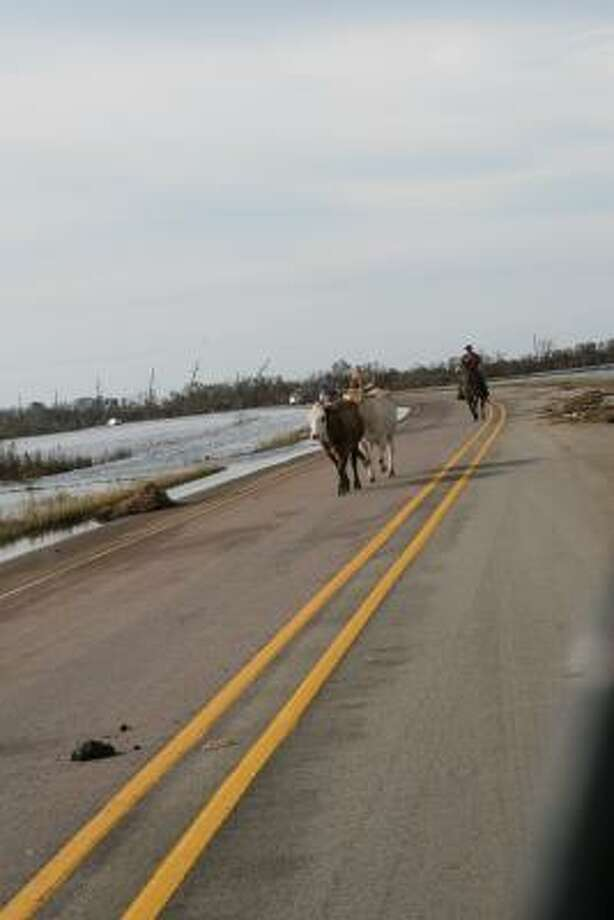 Using State Highway 124 as a cattle trail, a rancher in Chambers County works to round up some of the thousands of head of livestock scattered by Hurricane Ike. Photo: Shannon Tompkins, HOUSTON CHRONICLE