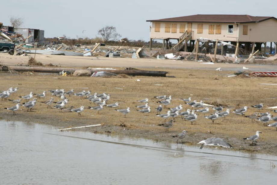 Seagulls rest on a sheet of drying mud atop what had been State Highway 87 on the Bolivar Peninsula. Bolivar Peninsula after Hurricane Ike. Photo: Shannon Tompkins, HOUSTON CHRONICLE