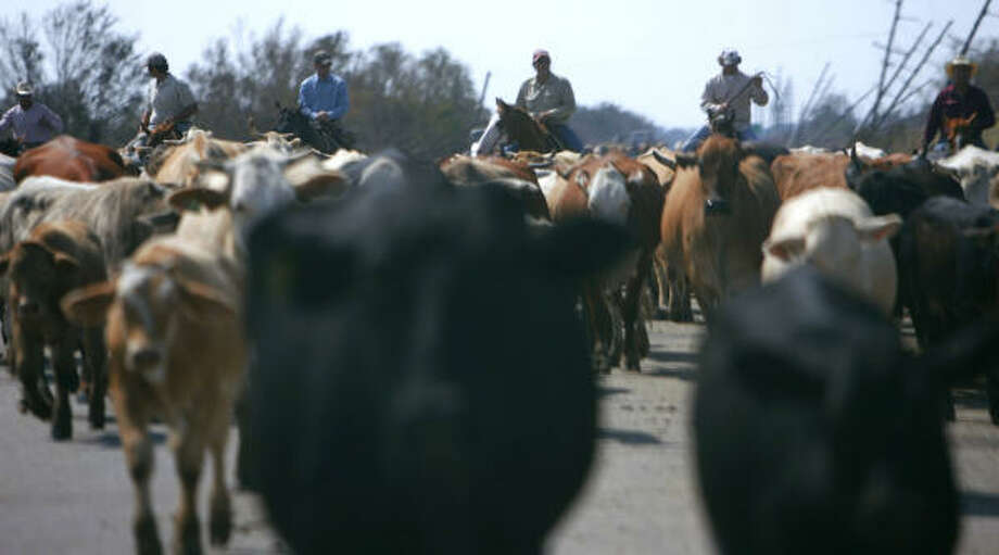 About 600 head of cattle are herded north along highway 124 in a rescue effort Wednesday in Crystal Beach. Photo: Sharon Steinmann, Chronicle