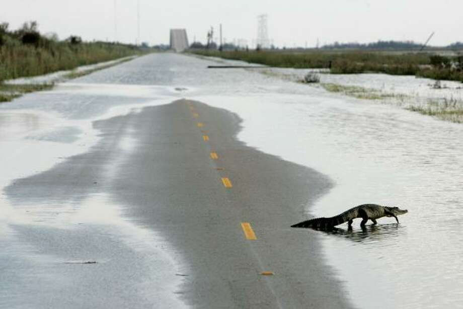 An alligator crosses Gulfway Drive on the north side of the Bolivar Peninsula Monday. Photo: Tony Gutierrez, AP