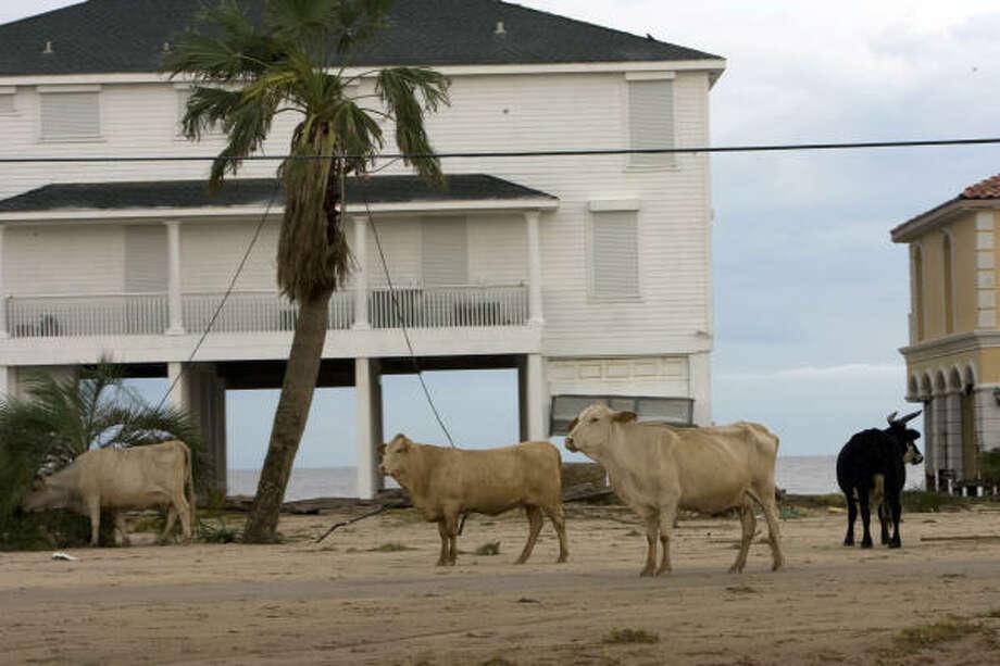 After Hurricane Ike, cattle roam along FM 3005 near Jamaica Beach on Galveston Island's west side. Photo: Johnny Hanson, Houston Chronicle