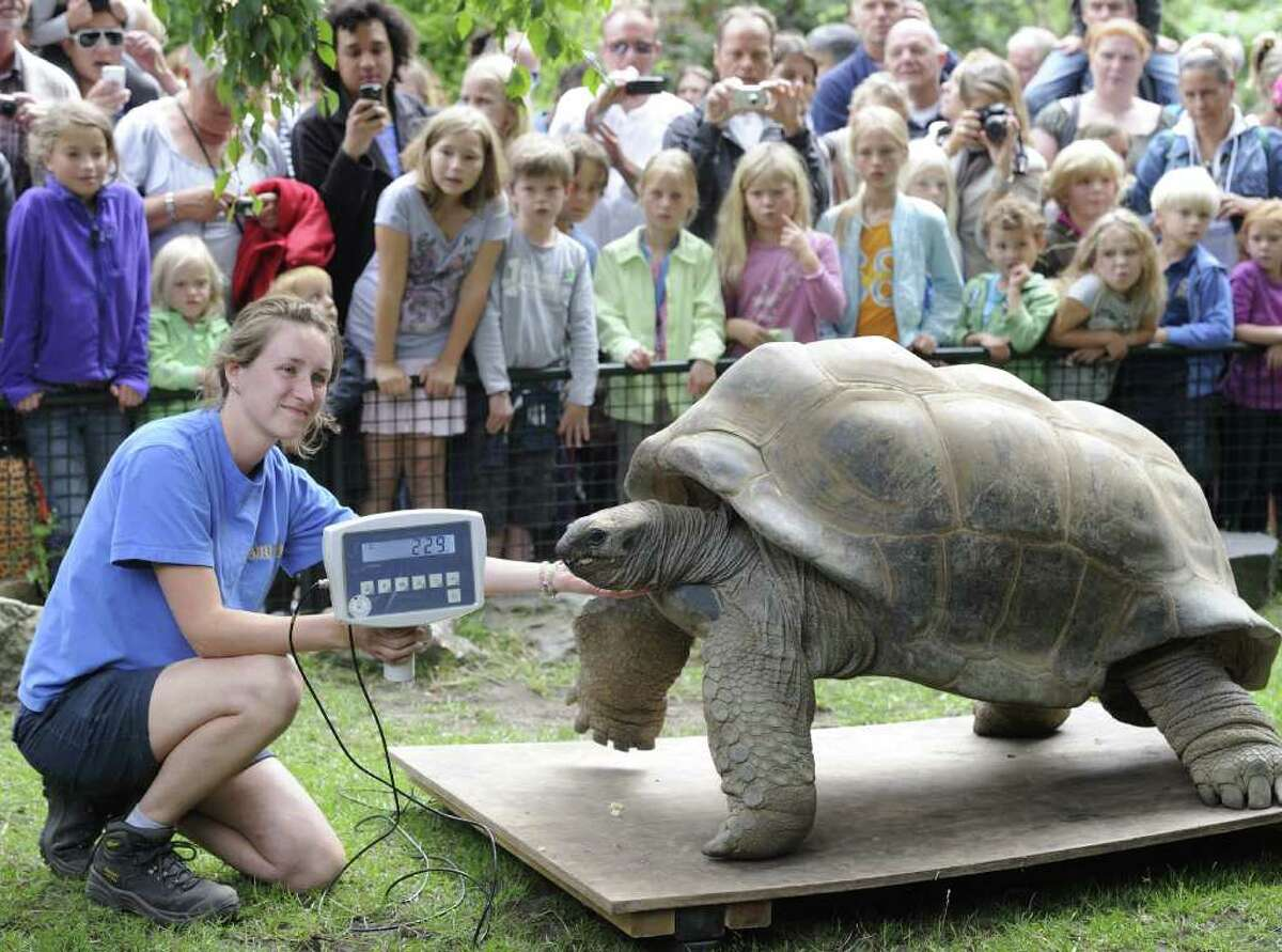 A woman weighs a giant tortoise at the Artis Zoo in Amsterdam during their biennial weightings as part of their general health check up.