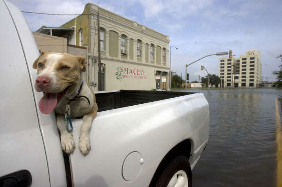 Crystal, a pit bull, gets a ride through the strand on the corner of Rosenberg and Market Avenue through water a foot-and-a-half deep. Photo: Johnny Hanson, Chronicle