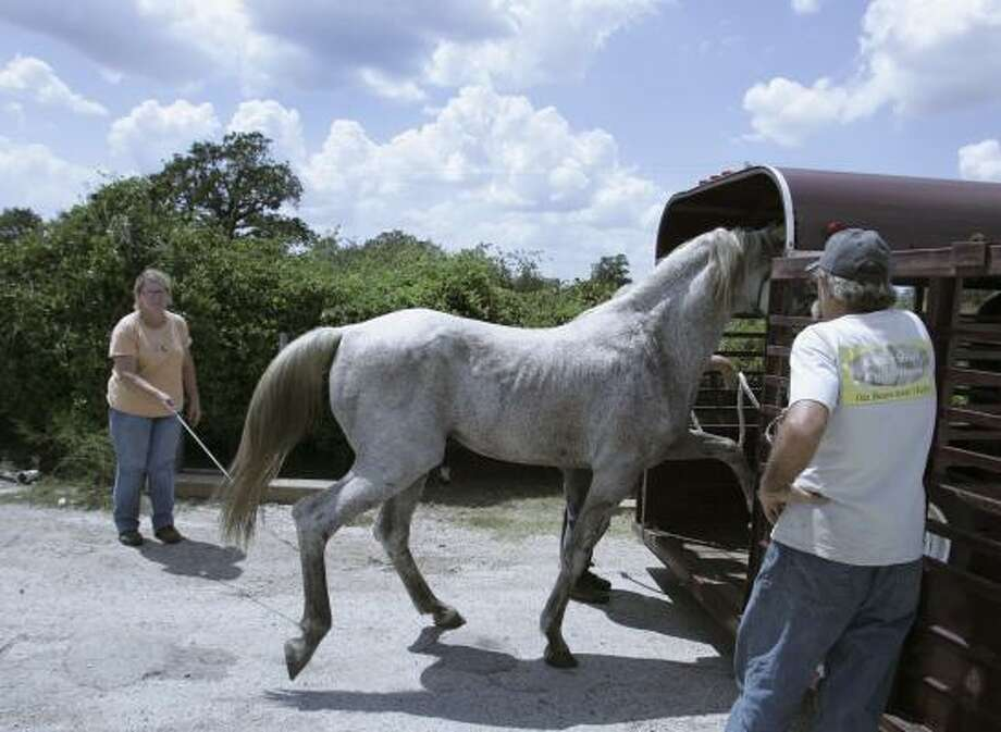 A horse is loaded onto a trailer to be moved inland in preparation for Hurricane Ike today near Victoria. Photo: LM Otero, AP