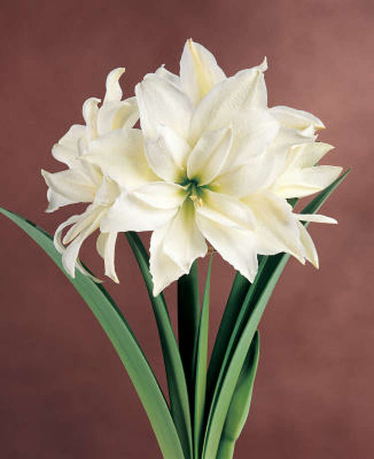 'White Peacock,' is a double amaryllis. Photo: Netherlands Flower & Bulb Info C