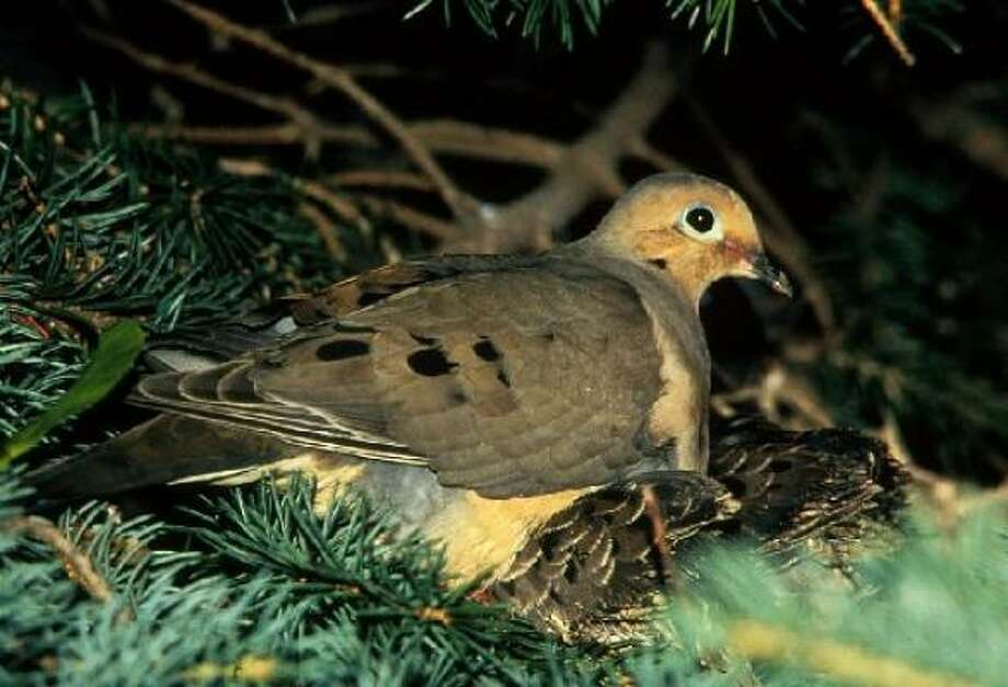 True of False: Mourning doves are one of the most common birds in North America. See the answer.True Photo: Chronicle File